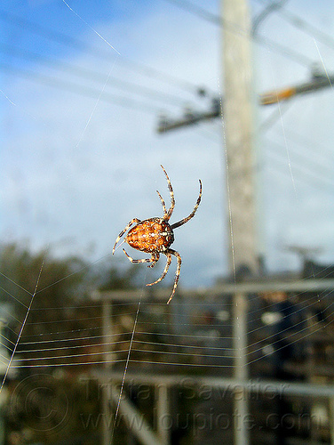 spider making its web, araneidae, araneus diadematus, building, cross spider, european garden spider, spider web, wildlife