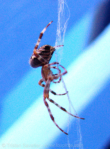 spider (san francisco), blue, close-up, macro, spider, wildlife