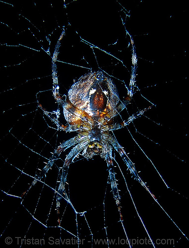 spider (san francisco), araneidae, araneus diadematus, european garden spider, female, flash, macro, night, spider web, wildlife