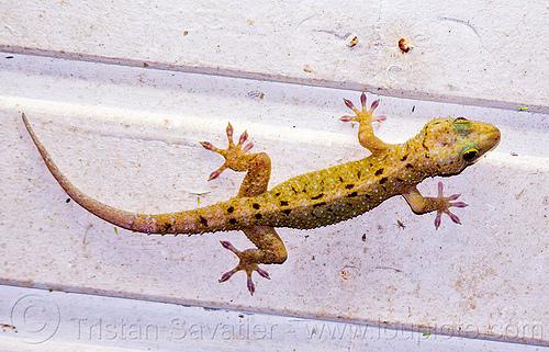 spotted house gecko - gekko monarchus (borneo), gekko monarchus, gunung mulu national park, lizard, reptile, spotted house gecko, wildlife