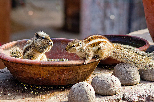 squirrels eating seeds, bird food, bird seeds, clay vessel, eating, lucknow, rodents, squirels, urban wildlife