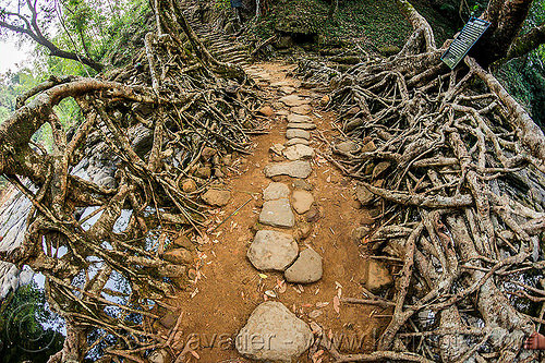 stone paved pathway over living root bridge - mawlynnong (india), banyan, ficus elastica, footbridge, jungle, rain forest, roots, stones, strangler fig, trail, trees, wahthyllong