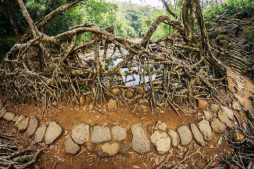 stone paved trail over living root bridge - mawlynnong (india), banyan, east khasi hills, ficus elastica, footbridge, india, jingmaham, jungle, living root bridge, mawlynnong, meghalaya, rain forest, roots, strangler fig, trail, trees, wahthyllong