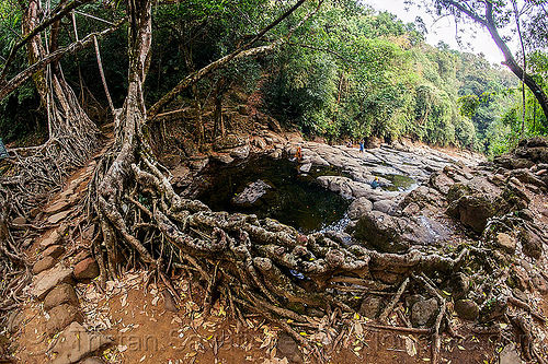 stone trail on living root bridge - mawlynnong (india), banyan, east khasi hills, ficus elastica, footbridge, jingmaham, jungle, living root bridge, mawlynnong, meghalaya, rain forest, river bed, rocks, roots, stones, strangler fig, trail, trees, wahthyllong, water