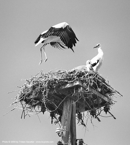stork nest with with young storks learning to fly, birds, flying, learning to fly, stork nest, storks, wild bird, wildlife, българия