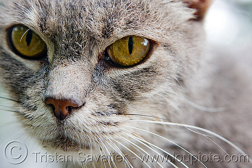 stray cat - recoleta cemetery (buenos aires), argentina, buenos aires, graveyard, gray, grey, recoleta cemetery, stray cat, whiskers