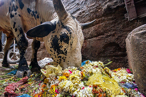 street cow eating trash (india), bull, flowers, garbage, rubbish, varanasi