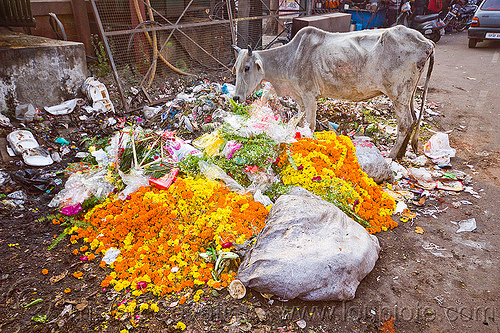 street cow looking for food in trash, environment, flower offerings, flowers, garbage, lucknow, marigold, plastic trash, pollution, rubbish, street cow