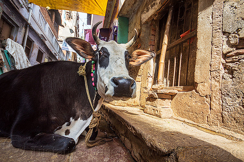 street cow lying (india), india, lying down, narrow street, resting, street cow, varanasi