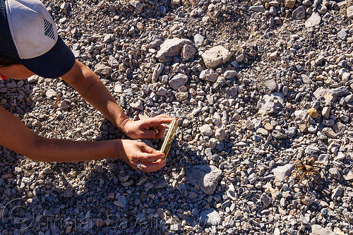 taking photos of a tarantula spider (death valley), brown, death valley, grotto canyon, spider, tarantula, wildlife, woman