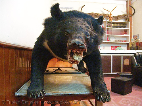 taxidermied bear - vietnam, bear, dead, son la, sơn la, taxidermy, vietnam, wildlife