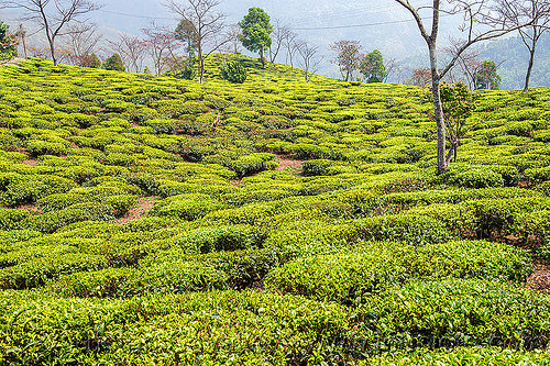 tea plantation near darjeeling (india), agriculture, farming, tea plantation, trees, west bengal