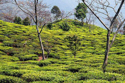 tea plantation on hill near darjeeling (india), agriculture, farming, trees, west bengal