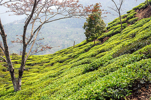tea plantation on hill near darjeeling (india), agriculture, farming, india, tea plantation, trees, west bengal