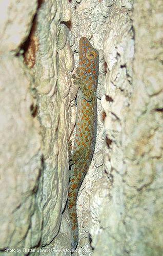tokay gecko in cave, gekko gecko, karst, karstic, reptile, tokay gecko, wildlife, wonder cave, ประเทศไทย