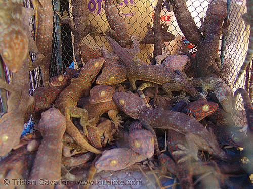 tokay geckos, animal expoitation, cage, chợ đồng xuân, dong xuan market, gekko gecko, hanoi, reptile, tokay geckos, wildlife
