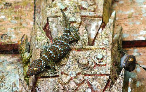 tokay geckos in temple, gekko gecko, luang prabang, pak ou caves temples, reptile, tokay geckos, wildlife