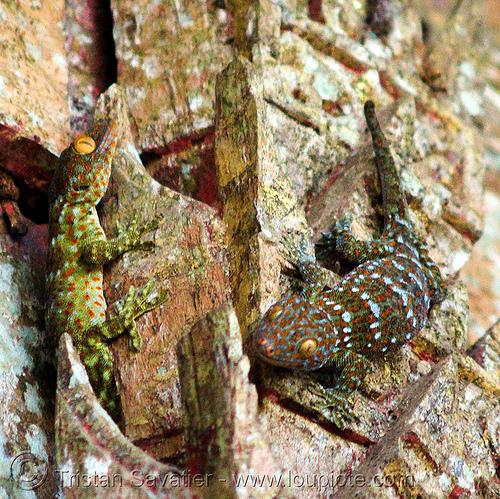 tokay geckos - pak ou caves near luang prabang (laos), gekko gecko, luang prabang, pak ou caves temples, reptile, tokay geckos, wildlife