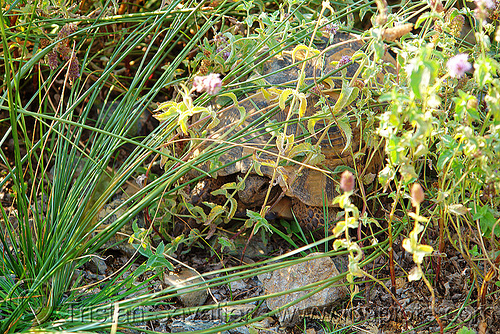 tortoise hiding in grass, camouflage, grass, hidden, hiding, plants, tortoise, turtle, wildlife