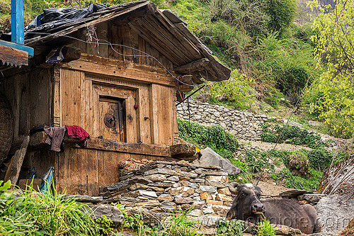 traditional wooden house in himalayan village (india), cabin, cow, house, india, janki chatti, village, water buffalo, wooden