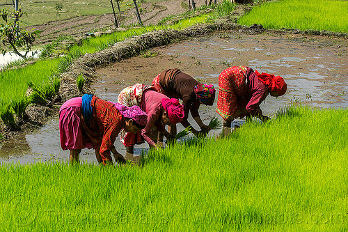 transplanting rice (nepal), agriculture, rice paddies, rice paddy fields, terrace farming, terraced fields, transplanting, women, working