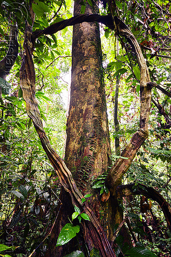 tree and liana in rain forest, backlight, jungle, loop, plants, sepilok, sepilok orang utan sanctuary, tree trunk