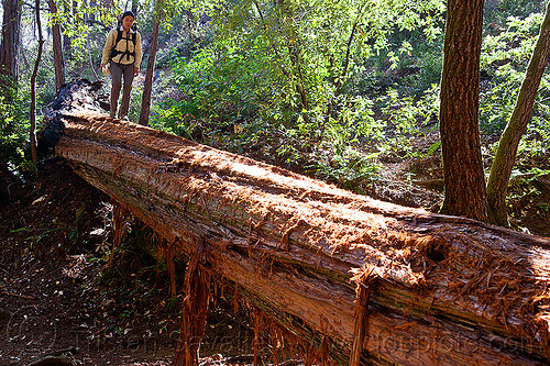 tree bridge - fallen redwood tree makes natural bridge for hikers, big sur, fallen tree, forest, hiking, pine ridge trail, redwood tree, sequoia sempervirens, tree bridge, tree trunk, trekking, vantana wilderness