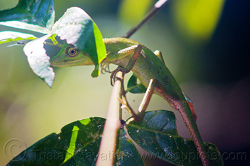 tree lizard - green crested lizard, borneo, bronchocela cristatella, green crested lizard, green tree lizard, gunung mulu national park, jungle, malaysia, rain forest, wildlife