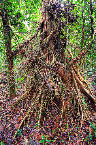 tree with aerial roots in the jungle (borneo), aerial roots, borneo, gunung mulu national park, jungle, malaysia, plant, rain forest, tree trunk