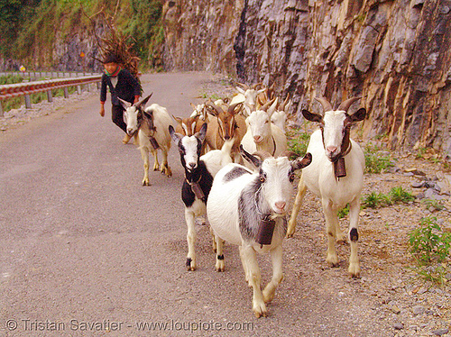 tribe boy and goats - vietnam, boy, child, goats, hill tribes, indigenous, kid, road, vietnam