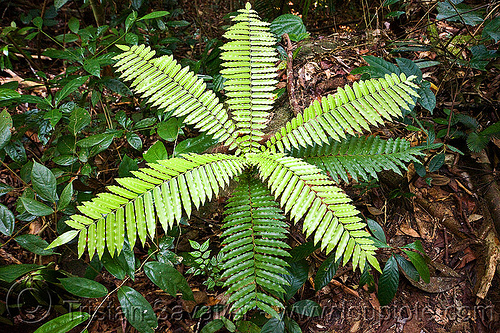 tropical fern, fern, green, gunung gading, leaves, unidentified plant