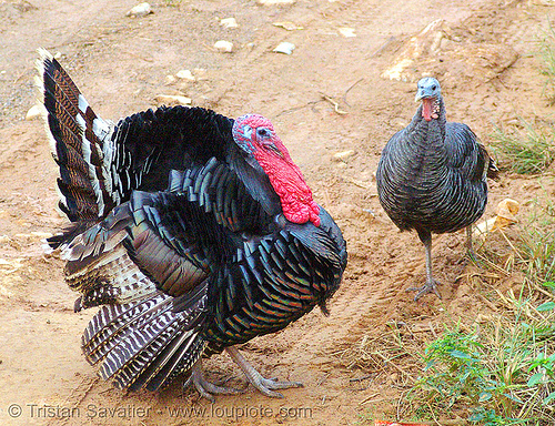 turkey birds - couple - male & female, bảo lạc, caruncle, courtship, domestic turkey, galliformes, hen, meleagris gallopavo, poultry, red, tom turkey, turkey animal, turkey bird, wattle