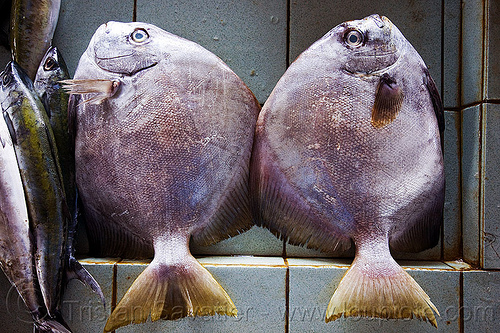 two round fishes, borneo, fish market, fishes, food, malaysia, seafood