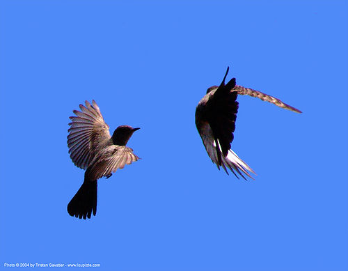 two small birds flying, birds, death valley, flying, wild bird, wildlife