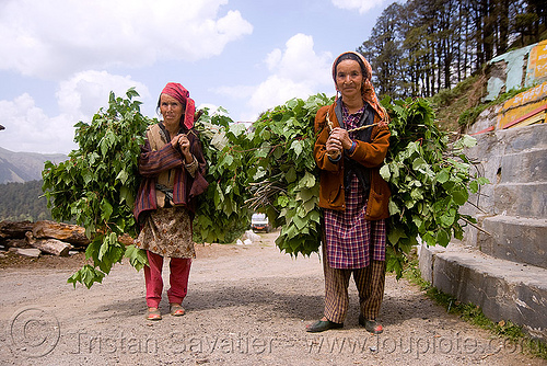 two women carrying leaves - jalori pass (india), bundles, carrying, jalori pass, jalorila, leaves, old woman, old women, people, road