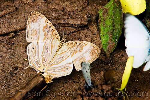 butterfly (laos), butterfly, insect, wildlife