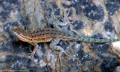 lizard - uta stansburiana elegans - western side-blotched lizard, common side-blotched lizard, death valley, desert, fall canyon, reptile, uta stansburiana, western side-blotched lizard