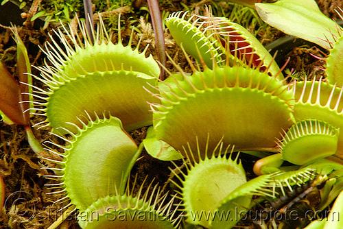 venus flytrap - carnivorous plants - dionaea muscipula, carnivorous plant, conservatory of flowers, dionaea muscipula, green, tropical, venus flytrap