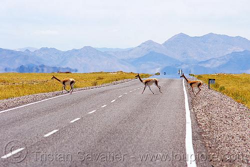 vicuñas, altiplano, crossing, noroeste argentino, pampa, quebrada de humahuaca, road, vicugnas, vicunas, vicuñas, vigognes