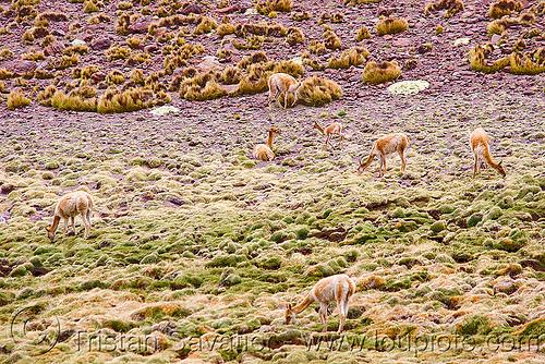 vicuñas, abra el acay, acay pass, grazing, herd, noroeste argentino, vicugna vicugna, vicugnas, vicuñas, vigognes, wild, wildlife
