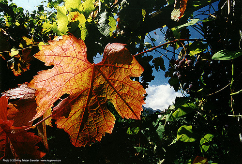 vineleaf with backlight, backlight, leaves, plant veins, vine leaf