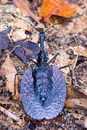 violin beetle - mormolyce phyllodes, gunung mulu national park, insect, mormolyce phyllodes, violin beetle, wildlife