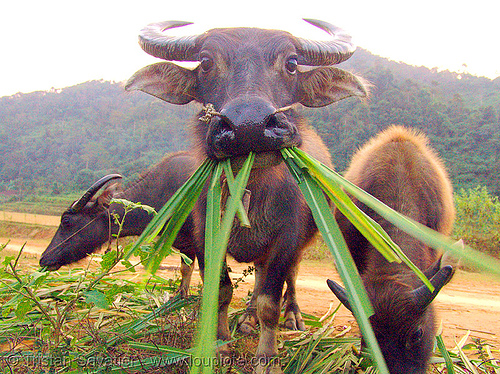 water buffalo cow eating grass, chewing, cow nose, cow snout, water buffaloes