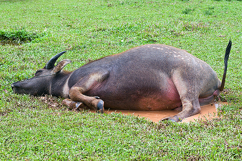 water buffalo mud bath, cow, field, grass, grassland, lying down, mud bath, puddle, resting, tail, turf, water buffalo