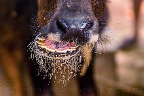 water buffalo nose and teeth (india), cow, head, incisors, india, nose, snout, teeth, water buffalo