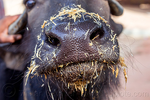 water buffalo snout with hay (india), cow, hay, head, nose, snout, water buffalo