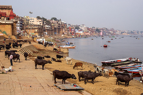water buffaloes and cows on the ghats of varanasi (india), buildings, cows, ganga, ganges river, ghats, houses, india, mooring, river bank, river boats, rowing boats, small boats, steps, varanasi, water buffaloes