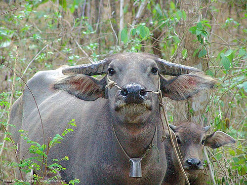 water buffaloes - cow and calf - thailand, baby cow, calf, cow bell, thailand, water buffaloes