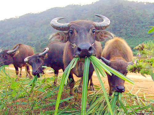 water buffaloes eating grass, chewing, cow nose, cow snout, eating, vietnam, water buffaloes