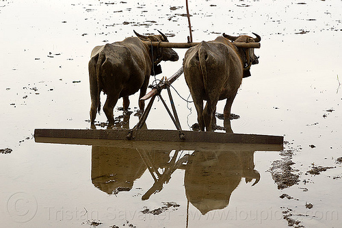 water buffaloes in flooded paddy field, agriculture, cows, draft animals, draught animals, flooded, flores island, indonesia, rice paddies, rice paddy fields, terrace farming, terraced fields, water buffaloes